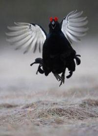 Con gà đen hay vương quốc duới mặt đất